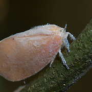 "A Flatidae planthopper insect in Pang Sida National Park, Thailand. A plant hopper is any insect in the infraorder Fulgoromorpha within the Hemiptera. The name comes from their remarkable resemblance to leaves and other plants of their environment and from the fact that they often ""hop"" for quick transportation in a similar way to that of grasshoppers."