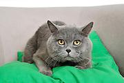 Majestic British Shorthair (AKA British blue) cat on green pillow