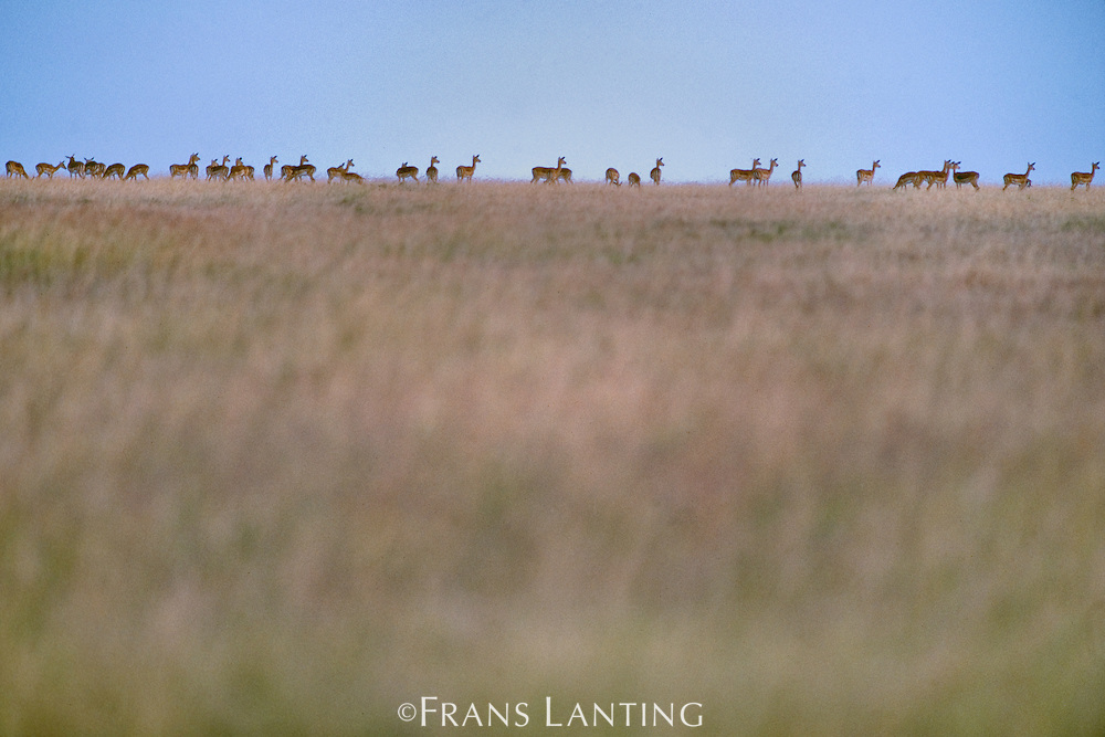 Impala herd, Aepyceros melampus, Masai Mara Reserve, Kenya