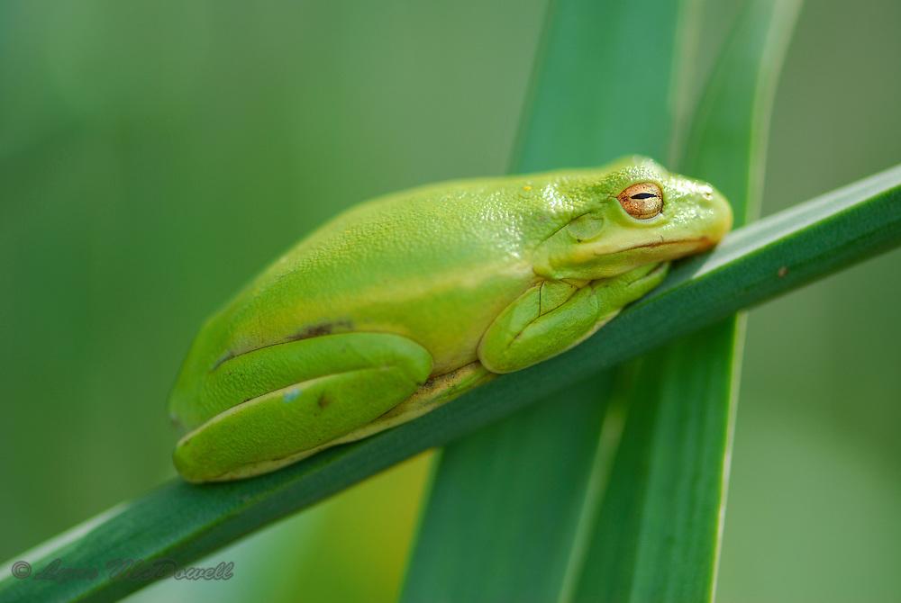 Green Treefrog sleeping on daffodill