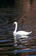 Isolated shot of swan swimming in fountain of the Palace of Fine Arts, San Francisco, California. The Palace of Fine Arts in the Marina District of San Francisco, California is a building originally constructed for the 1915 Panama-Pacific Exposition. It was designed by Bernard Maybeck, who took his inspiration from Roman and Greek architecture. The sculptured frieze and allegorical figures representing Contemplation, Wonderment and Meditation were created by Ulric Ellerhusen. The lagoon was intended to echo those found in classical settings in Europe, where the expanse of water provides a mirror surface to reflect the grand buildings and an undisturbed vista to appreciate them from a distance. Many forms of wildlife have made their home there including swans, ducks (particularly migrating fowl), geese, turtles, and frogs....Subject photograph(s) are copyright Edward McCain. All rights are reserved except those specifically granted by Edward McCain in writing prior to publication...McCain Photography.211 S 4th Avenue.Tucson, AZ 85701-2103.(520) 623-1998.mobile: (520) 990-0999.fax: (520) 623-1190.http://www.mccainphoto.com.edward@mccainphoto.com.
