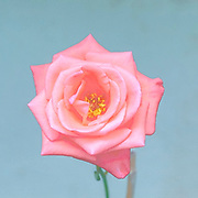 Digitally enhanced image of a perfect Salmon rose head