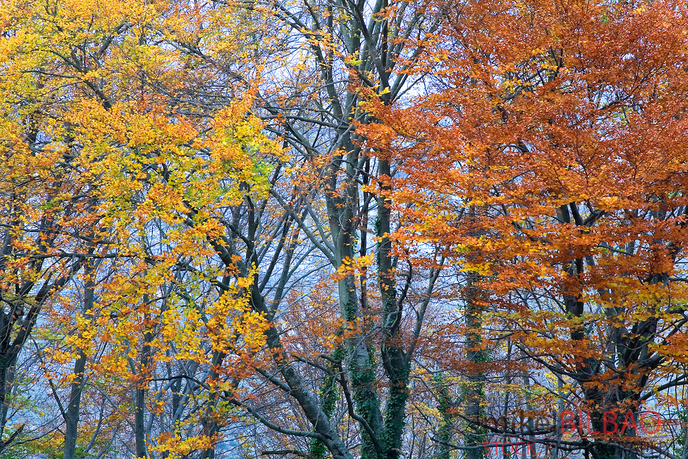 beechwood (Fagus sylvatica) in autumn. Monte Santiago Natural Monument. Burgos, Castile and Leon, Spain, Europe.