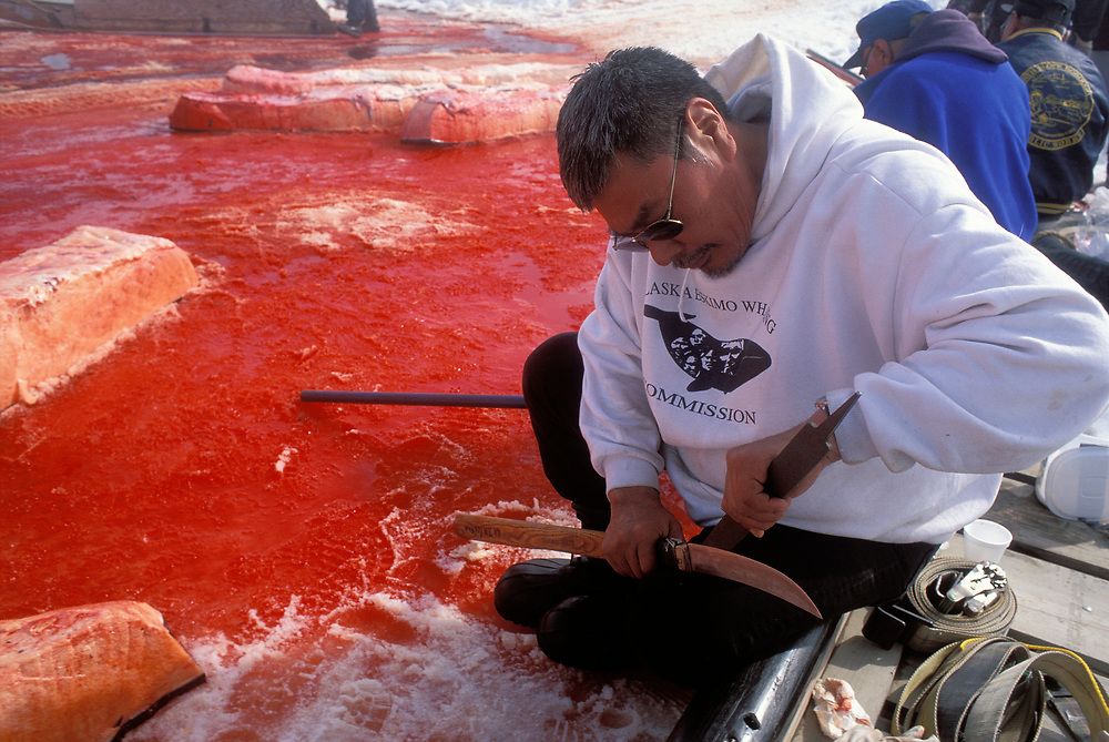 Barrow, Alaska. Butchering of the bowhead whale to feed the native community of Barrow, Alaska.