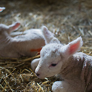 Spring is the lambing season in Scotland and Torsonce Mains Farm is busy lambing. Newly born lambs lie in the straw in the barn. The farm is owned by Stewart Ranciman and has 600 ewes all lambing from end of March till the end of April. Most will give birth to 2 lambs, occasionally 3 or even 4. The price of a 40 kg lamb is £60-70 and most are ready for sale 6-8 weeks later. Over 12 million lambs are slaughtered in the UK every year, producing more than 230,000 tonnes <br /> of meat.