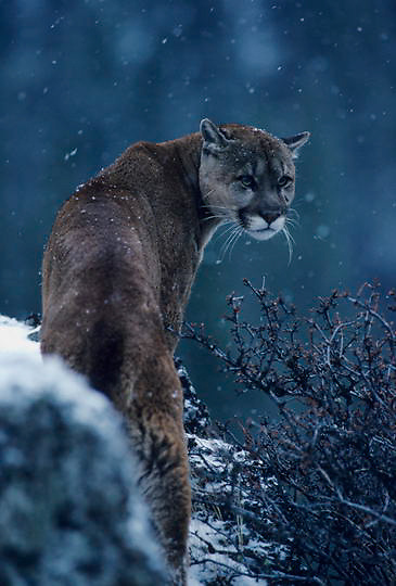 Mountain Lion or Cougar, (Felis concolor) Male looking back from rocky outcrop. Light snow fall. Montana. Captive Animal.