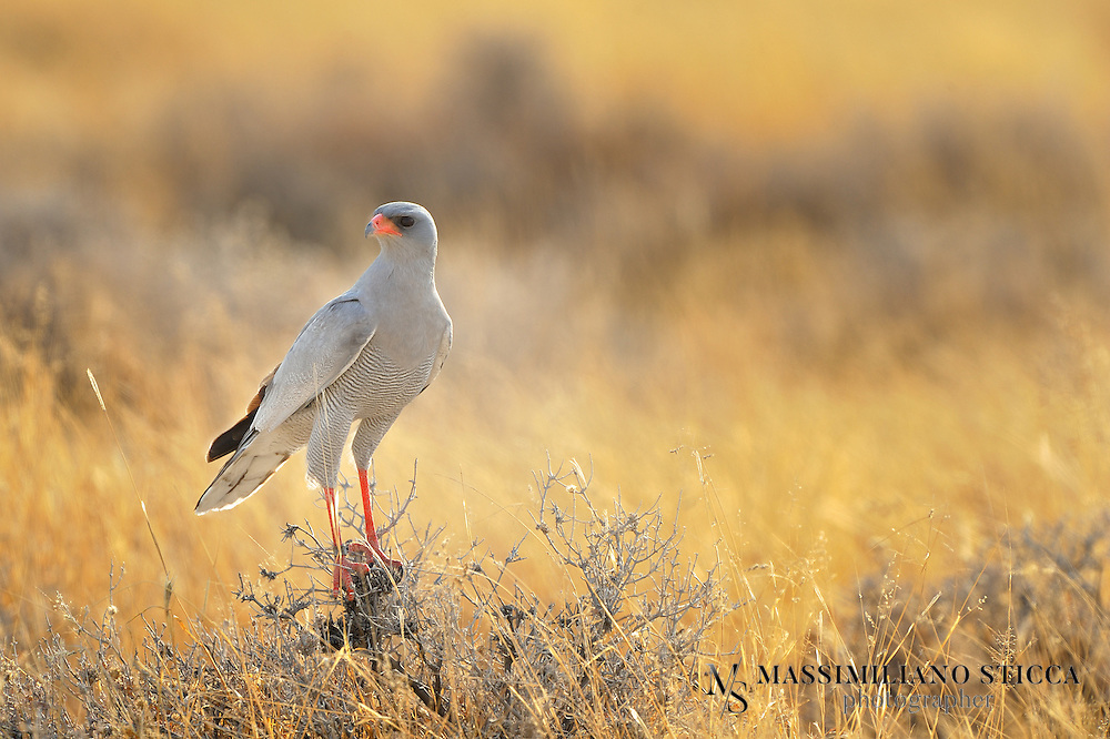 The (Southern) Pale Chanting Goshawk (Melierax canorus) is a bird of prey in the family Accipitridae. This hawk breeds in southern Africa. It is a resident species of dry, open semi-desert with 75 cm or less annual rainfall. It is commonly seen perched on roadside telephone poles.....This species is 56-65 cm long. The adult has grey upperparts with a white rump. The central tail feathers are black tipped with white, and the outer feathers are barred grey and white. The head and upper breast are pale grey; the rest of the underparts are finely barred in dark grey and white. Its eyes are red, the bill is mostly red, and it has long red legs. It is paler than the grey-rumped Dark Chanting Goshawk, Melierax metabates.....In flight, the adult has black primary flight feathers, very pale grey (white from a distance) secondaries, and grey forewings. The wingspan is about 105 cm.....Immatures have brown upperparts, with a white rump and black bars on the tail. From below, the flight feathers a