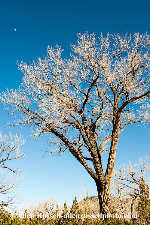 Cottonwood tree, New Mexico