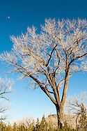 Cottonwood tree, New Mexico