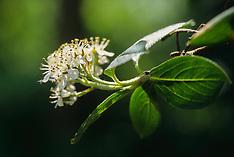 Appelbes, Aronia arbutifolia