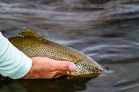 A healthy brown trout is released back into the cool waters of Montana's Madison River.