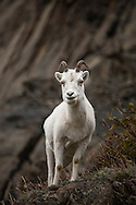 Dall Sheep Portrait - Dall Sheep - Anchorage, Alaska Edition of 100 EXP0566