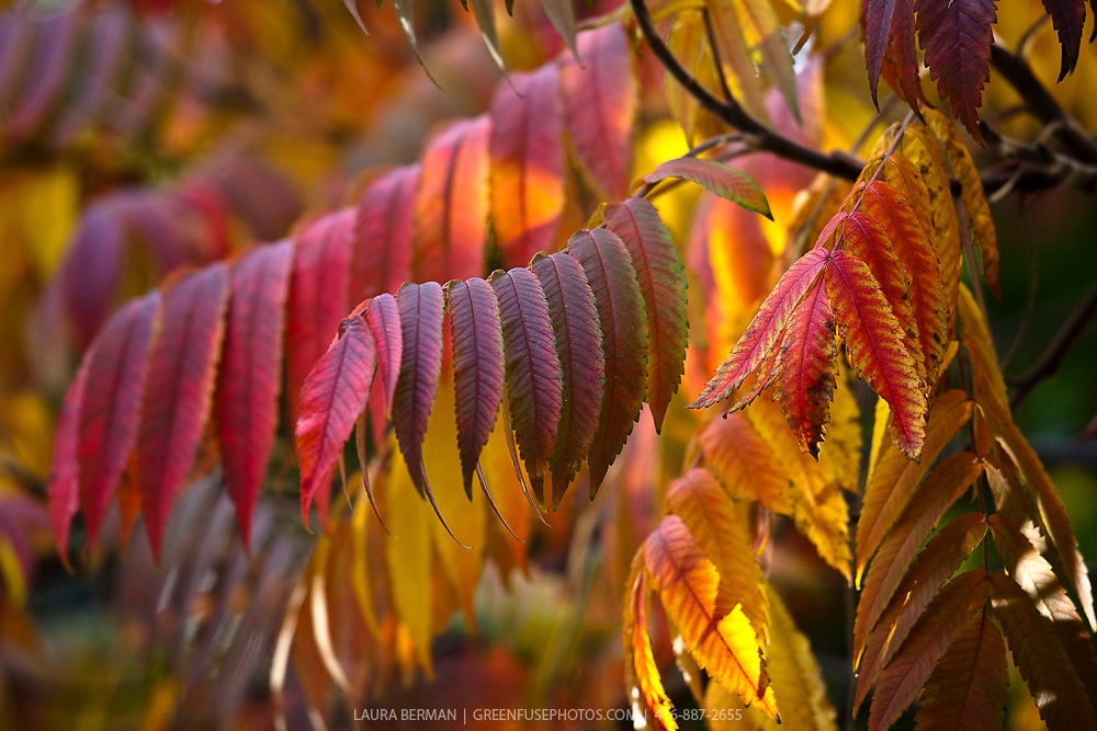 The fiery leaf color of the Staghorn sumac tree in autumn. (Rhus typhina). Available as hi res upon request.