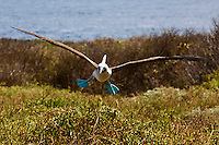 Blue-footed booby bird landing. Wildlife and animal photography prints for sale. Fine art photography wall art, stock images.