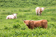Herd of Highland Cattle,  Bos primigenius, with horns on Isle of Mull in the Inner Hebrides and Western Isles, West Coast of Scotland