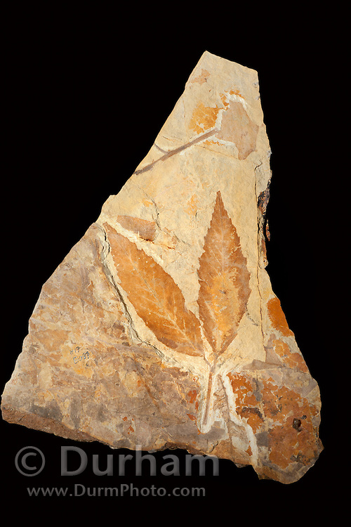 42 million year old fossil of unidentfied leaves. John Day Fossil Beds, Oregon.
