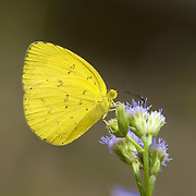 The Large Grass Yellow or Common Grass Yellow (Eurema hecabe) is a small pierid butterfly species.