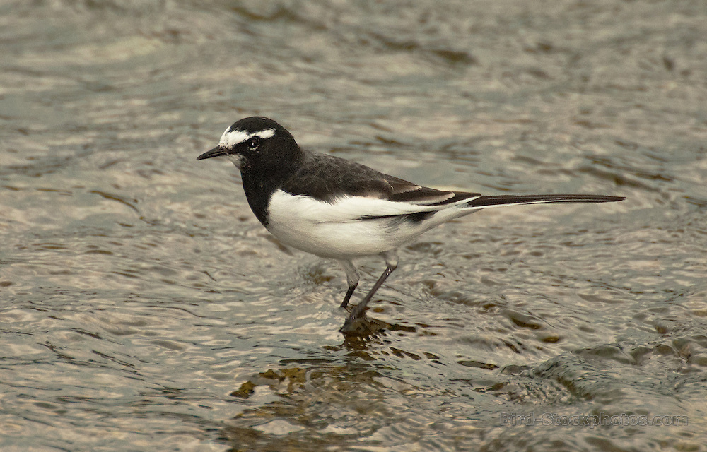 Japanese Wagtail, Motacilla grandis, Japan, by Owen Deutsch