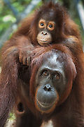 Bornean Orangutan <br /> Pongo pygmaeus<br /> Mother and two-year-old baby<br /> Tanjung Puting National Park, Indonesia
