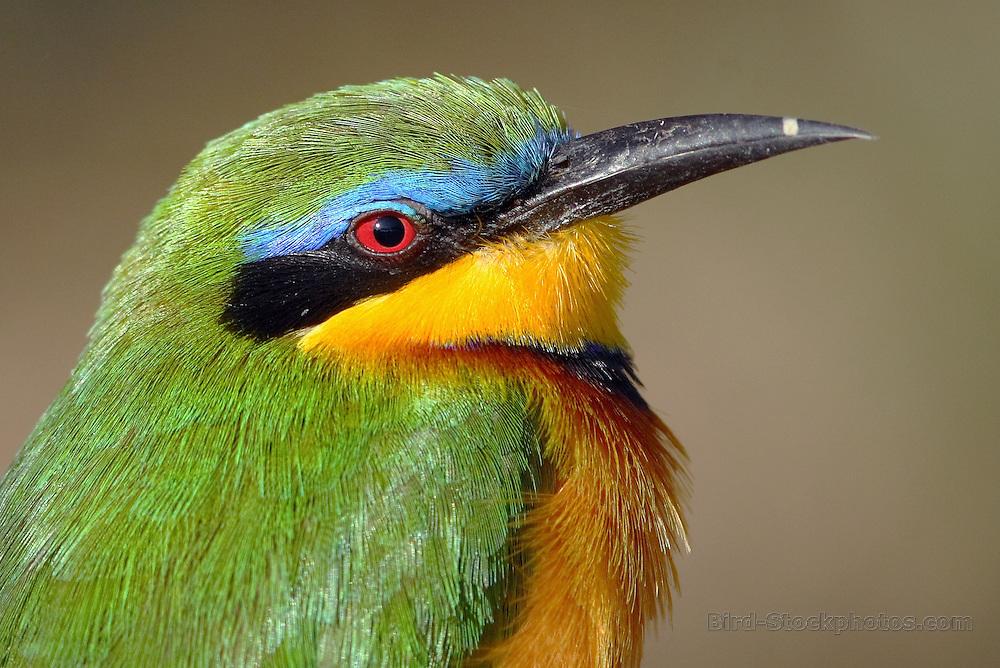 Little Bee-eater, Merops pusillus, Lake Langano, Ethiopia, by Markus Lilje