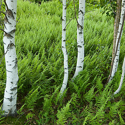 Paper birch and ferns in Sabins Pasture in Montpelier, Vermont.