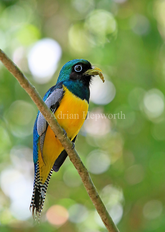 Male Black-throated Trogon (Trogon rufus) with caterpillar in bill. Corcovado National Park, Osa Peninsula, Costa Rica. <br />