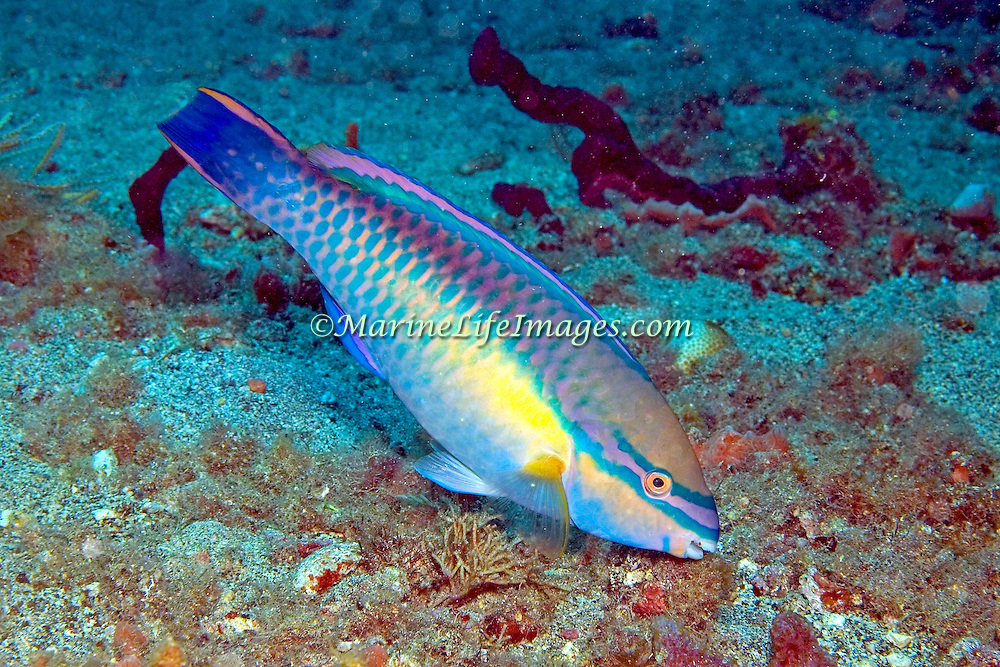 Princess Parrotfish swim about reefs and adjacent areas scrapping filamenmtous algae from hard substrates in  Tropical West Atlantic; picture taken St. Vincent.