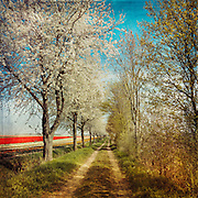 Row of cherry trees in bloom with tulip fields in the distance - Rhineland, Germany - texturized photograph
