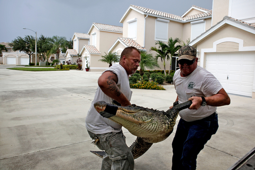 George Hodge, left, and Dave Regel, right, hoist their first trapped alligator of the afternoon into a small, covered space in the flatbed of his pickup truck at Port of the Islands Resort & Marina in East Naples. Alligators are routinely found in residential areas in Florida, and in Collier County they call Regel and Hodge to remove them. Greg Kahn/Staff