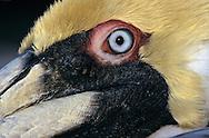 USA, Vereinigte Staaten von Amerika: Braunpelikan (Pelecanus occidentalis),  Close-up von eimen adulten Männchen, die Kopffedern färben sich nur während der Paarungszeit gelb, Indian Shores, Florida, USA. |  USA, United States of America, Florida, Indian Shores: close-up of an adult male Brown Pelican (Pelecanus occidentalis), his head feathers are yellow because of mating season. |