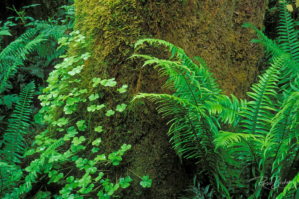 Sword ferns, sorrel, and moss-covered bigleaf maple in the Queets Rain Forest, Olympic National Park, Washington USA
