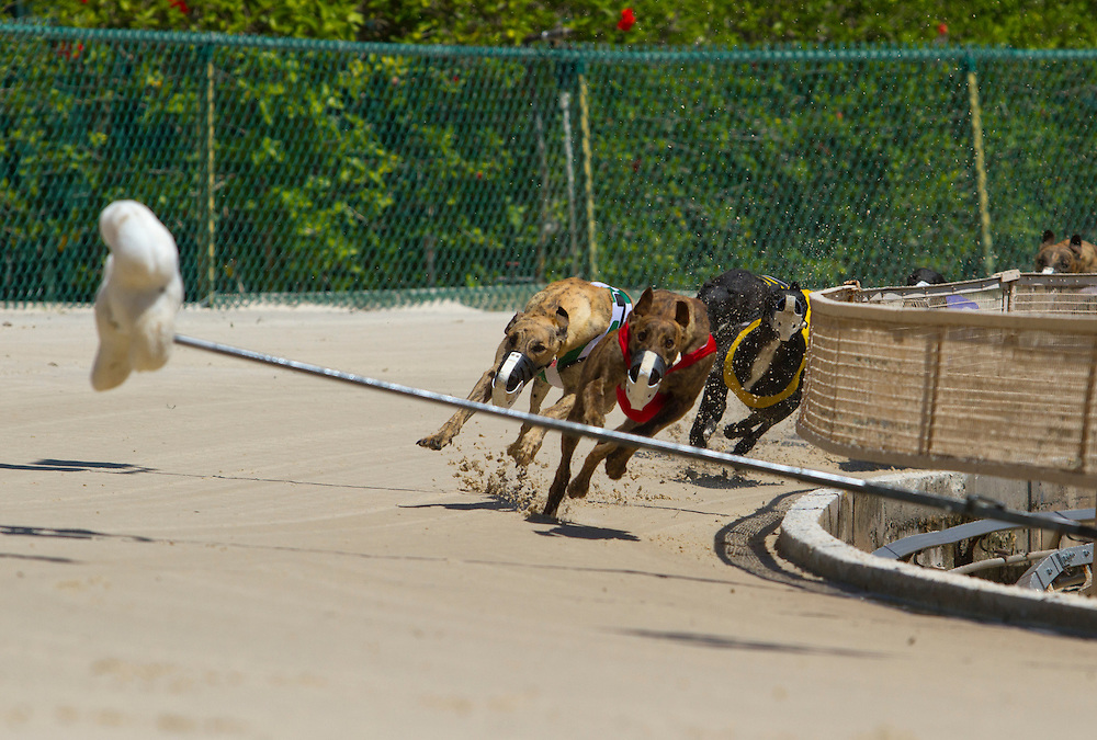 The greyhounds enter the last turn during the 11th race during a Wednesday matinee. Derby Lane in St. Petersburg has Greyhound racing every evening Monday through Saturday and has matinee racing on Wednesdays and Saturdays..Photo by James Branaman