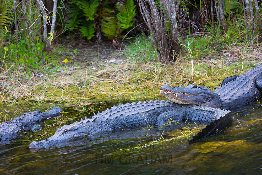Group of American alligators cosying up basking by a swamp and chilling out in the Florida Everglades, USA
