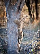 Lion cub climbing a tree, Mombo camp, Okavango Delta, Botswana