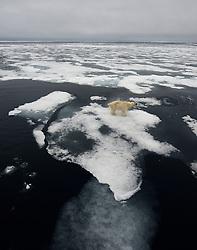 Polar bear (Ursus maritimus) on thin ice in Svalbard