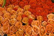 Orange, Peach roses, close-up, perennial flowering shrub vine genus Rosa Rosaceae