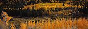 Fall Aspen Grove on Cottonwood Pass, Colorado