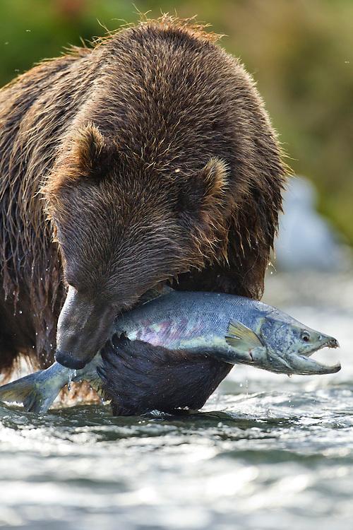 USA, Alaska, Katmai National Park, Coastal Brown Bear (Ursus arctos) struggles to hold onto large thrashing Chum Salmon (Oncorhynchus keta) along Kinak Bay
