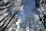 This is a photograph looking up through a clearing of trees, taken at Audobon Corkscrew Swamp Sanctuary in Naples, Florida.