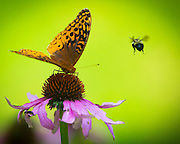 A bee and a butterfly go after the same flower on a farm near Rocky Fork Lake in Hillsboro, Ohio.