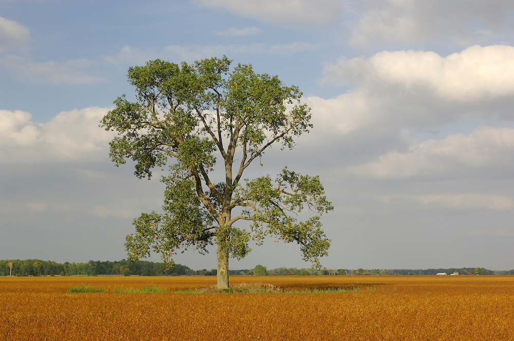 Tree in field, Forest, Ontario, Canada