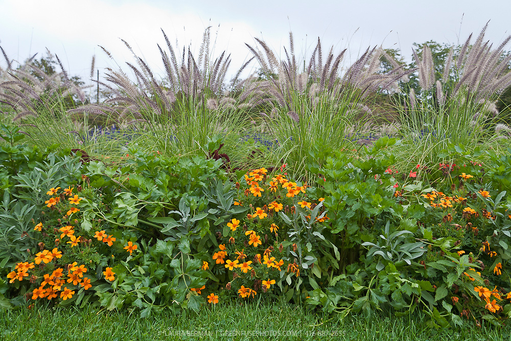 A decorative and edible planting of Tangerine Gem marigolds, silver leaf sage and celery with ornamental feather grass (Pennisetum)  in a public garden.