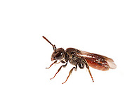Bees in the genus Sphecodes are klepto-parasites of Sweat Bees in the genus Lasioglossum.