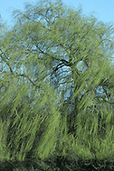 Weeping Willow Salix x sepulcralis (Height to 20m) similar to Chinese Weeping Willow S. babylonica but  is more popular. Hybrid between Chinese Weeping Willow and White Willow. Pendulous branches and golden foliage look elegant in waterside settings.