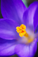 A close-up of a spring Crocus.