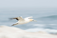 Cape Gannet adult flying over its nesting colony, Lamberts Bay, Western Cape, South Africa