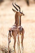 Two Gerenuk (Litocranius walleri) AKA Giraffe Gazelle Photographed in Samburu National Reserve, Kenya