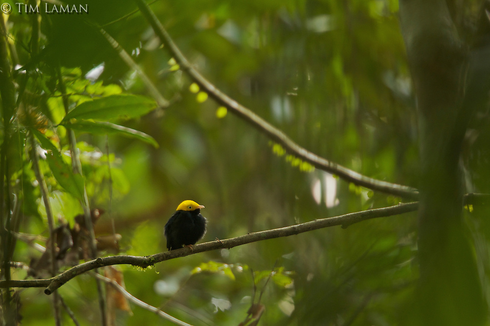 Golden-headed Manakin (Pipra erythrocephala)<br />Adult male perched in the canopy.<br /><br />Tiputini Biodiversity Station, Amazon Rain Forest, Ecuador.