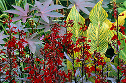 Late summer planting of Lobelia 'Queen Victoria' with Canna 'Striata' and Ricinus communis 'Carmencita' at Great Dixter