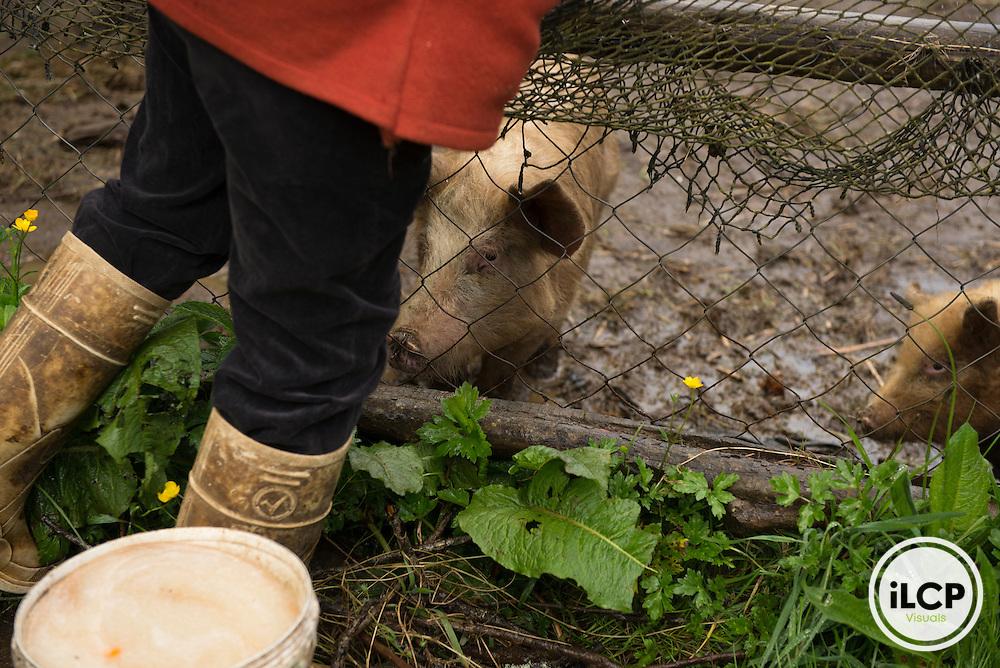Feeding the pigs at Al Norte del Sur organic agritourism farm.